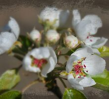Pear blossom under glass. by JRPowers