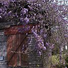 wisteria 1 by Michael McCasland