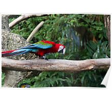 A very colorful and bright Macaw bird Poster