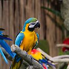 Colorful and bright Macaw bird by ashishagarwal74