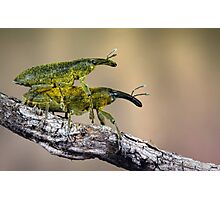 Weevils Photographic Print