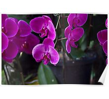Some very beautiful purple colored orchid flowers Poster