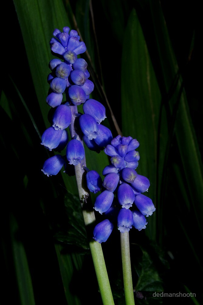 grape hyacinth in the grass by dedmanshootn