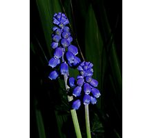 grape hyacinth in the grass Photographic Print