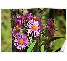 Pink New England Aster Poster