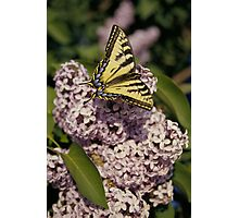 Butter Fly  Photographic Print