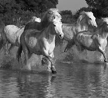 White Horses of The Camargue 4 by jennialexander