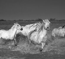 White Horses of The Camargue 5 by jennialexander