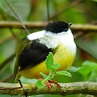 White collared Manakin by Linda Sparks