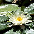 Water Lily by photogart