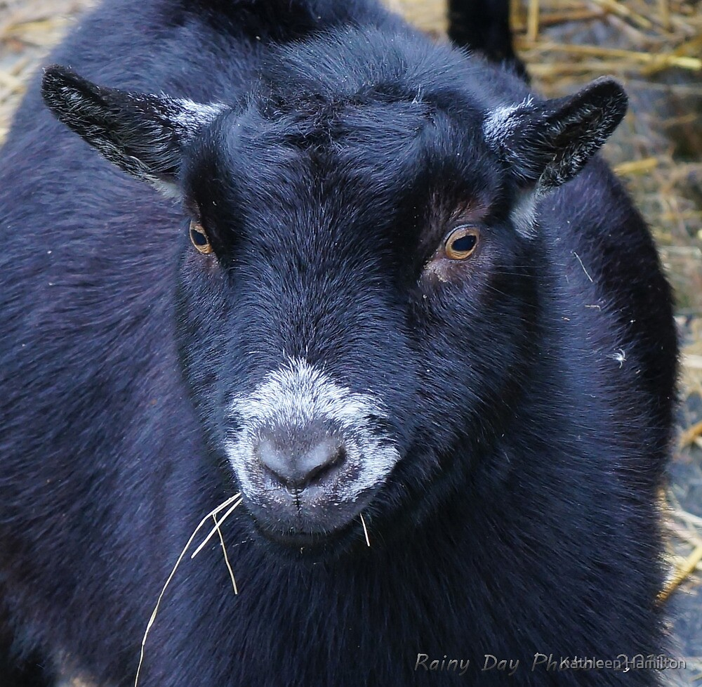 Wendell the goat by Rainydayphotos