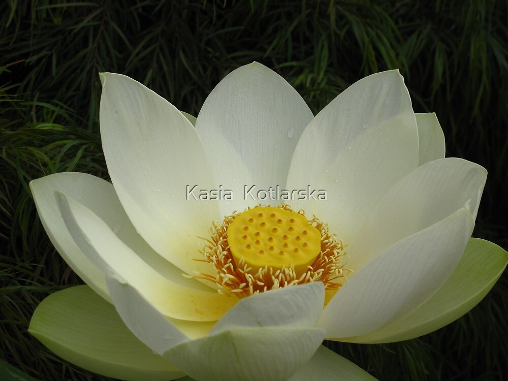 White lotus  by Kasia  Kotlarska