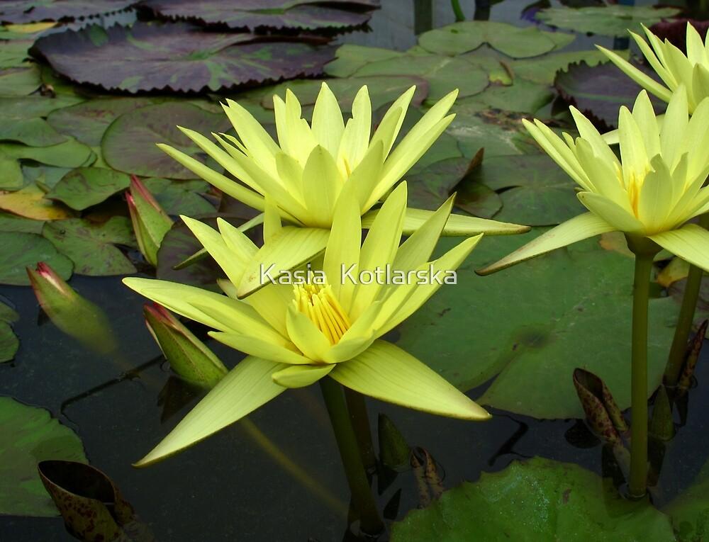 Yellow water lily by Kasia  Kotlarska