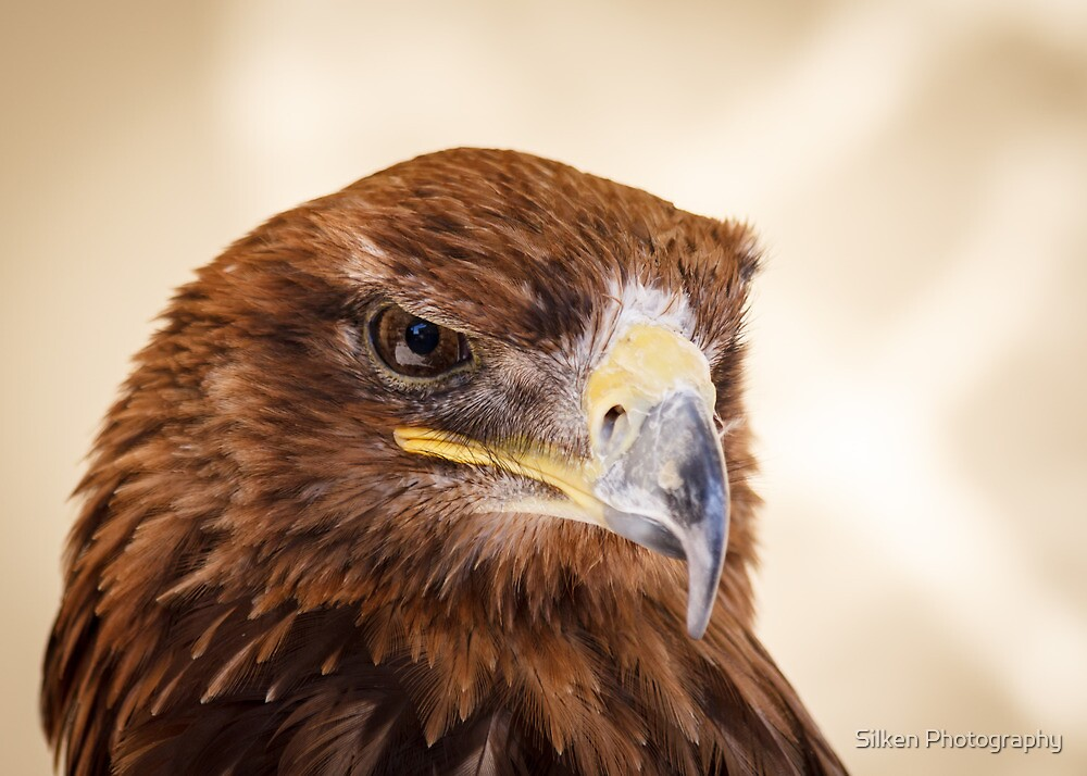 Jacob the Harris Hawk by Silken Photography