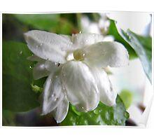 Fresh jasmine Poster