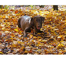 Chocolate lab days Photographic Print