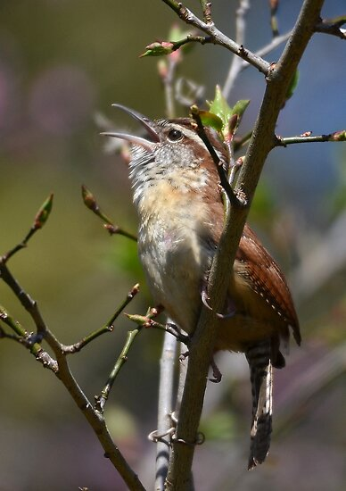 Wren Welcoming In Spring With A Song by Kathy Baccari