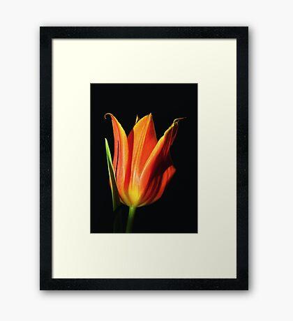 Orange Flame Tulip Framed Print