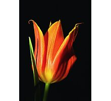 Orange Flame Tulip Photographic Print