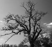 The grand old oak by MrsGJ