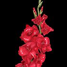 Red Gladiolus on Black by Zdenek Sasek