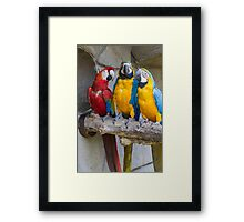 ara ararauna parrot on its perch Framed Print