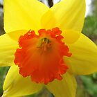 daffodil by SnapThat