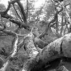 Fallen oak by stanagerob