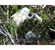 Heron and Babies Photographic Print