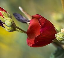 Globe Mallow Delicate Red Flower by msqrd2