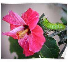 Hibiscus & Caterpillar Poster