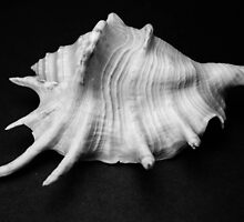 Shell Studies IV by laurabaay