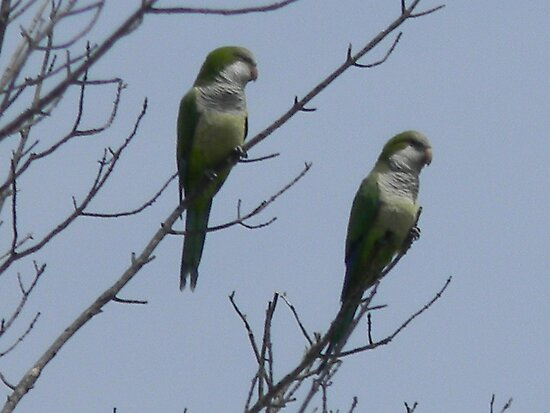 Monk Parakeets Thank Me by Navigator