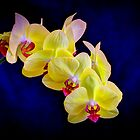 Beautiful Yellow Orchid with deep blue background by Brian D. Campbell