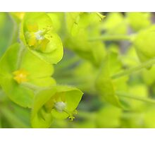 Soft green Irish bells Photographic Print