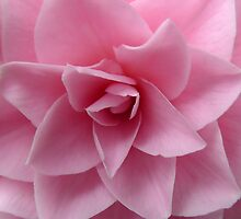 Burst of soft pink by ailsapm