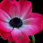 Patriotic Anemone by peterrobinsonjr