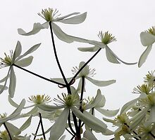 Snowy drift of clematis by ailsapm