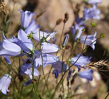Harebell in Glen Coe by kalaryder