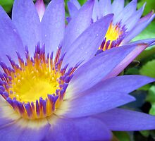 Purple & Yellow Lotus by Akrotiri