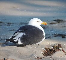 NZ Seagull by ScenerybyDesign