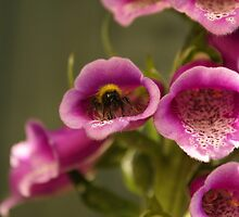 bee in a foxglove by CecilysSong