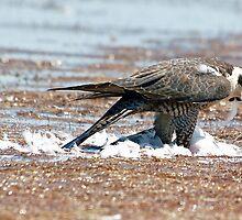 Peregrene Falcon by Deewinged