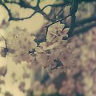 Spring Blossoms by agrippinamaior