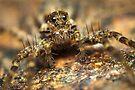 Wolf spider arachnid extreme macro by Mario Cehulic
