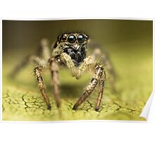 Salticus scenicus female jumping spider extreme macro Poster