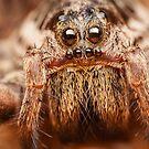 Wolf spider extreme macro portrait by Mario Cehulic