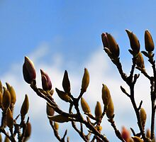 Magnolia Starting To Flower by lynn carter