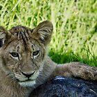 Lion Cub, Ngorongoro Crater, Tanzania, Africa by Sue Ratcliffe