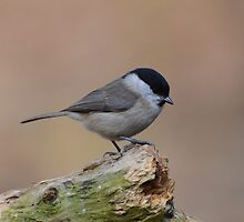 little willow tit by Nicole W.